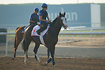 DUBAI,UNITED ARAB EMIRATES-MARCH 30:Talismanic ,trained by Andre Favre,exercises in preparation for the Dubai World Cup at Meydan Racecourse on March 30,2018 in Dubai,United Arab Emirates (Photo by Kaz Ishida/Eclipse Sportswire/Getty Images)