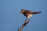 American Kestrel (Falco sparverius) female with mouse prey, Bosque del Apache National Wildlife Refuge , New Mexico, USA