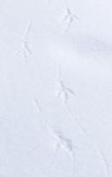 Common raven tracks found near one of Yellowstone's geyser basins.