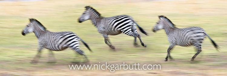 Herd of Crawshay's Zebras (Equus quagga crawshayi) -subspecies of Plains Zebra. Running along the banks of the Luangwa River. South Luangwa National Park, Zambia.
