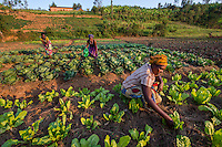 Here in the Muhango District of Rwanda, women work together in the agricultural co-op farm with vegetables they sell in the local market.