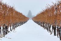 A view between the vines during a snowfall at a Niagara on the Lake vineyard