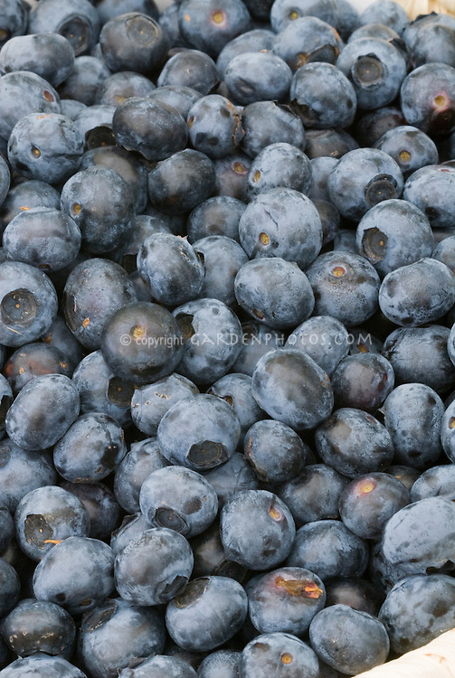 Blueberry 'Earliblue'  Vaccinium corymbosum  variety picked berries
