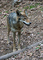 0503-0901  Critically Endangered Red Wolf, Canis rufus (syn. Canis niger)  © David Kuhn/Dwight Kuhn Photography