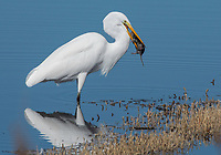 A Great Egret, Ardea alba, captures a California Meadow Vole, Microtus californicus, at Colusa National Wildlife Refuge, California