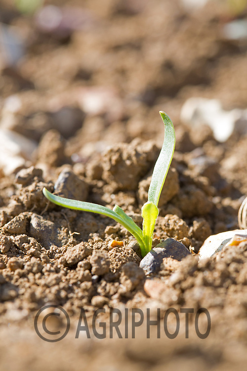 Young sugar beet plants emerging..Picture Tim Scrivener 07850 303986.tim@agriphoto.com.?.covering agriculture in the UK?.