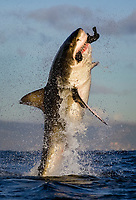 great white shark, Carcharodon carcharias, breaching on seal decoy, Seal Island, False Bay South Africa