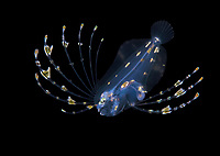 larval spotfin flounder, Cyclopsetta fimbriata, photographed during a blackwater drift dive in open ocean at 20-40 feet with bottom at 500 plus feet below, Palm Beach, Florida, USA, Atlantic Ocean