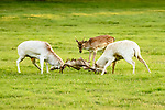 Young fawn adjudicates two white bucks rutting by David Gowing