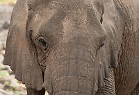 Close-up of an African Elephant, Loxodonta africana, in Lake Manyara National Park, Tanzania
