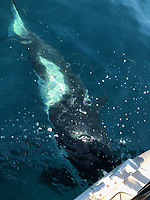 BNPS.co.uk (01202 558833)<br /> Pic: ArthurDyevre/BNPS<br /> <br /> Video download link: https://we.tl/t-ZBhixDUFTt.<br /> <br /> Pictured: The killer whale in the water around Arthur Dyevre's boat.<br /> <br /> A British sailor described his terrifying ordeal with a pack of killer whales which tried to topple his boat near the coast of Spain.<br /> <br /> Alan Bruce, 63, was sailing a Jeanneau 479 boat from Gibraltar to Cape St. Vincent, Portugal, when a large black shadow slipped beneath it.<br /> <br /> Suddenly he felt a violent thud and looked back to see a gigantic orca turning to follow him.