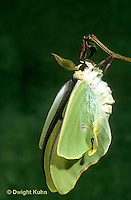 LE15-021x   Luna Moth - just emerged from cocoon expanding wings - Actias luna.