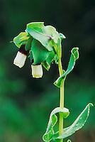 Honeywort, Cerinthe major, blooming, Samos, Greek Island, Greece, Europe