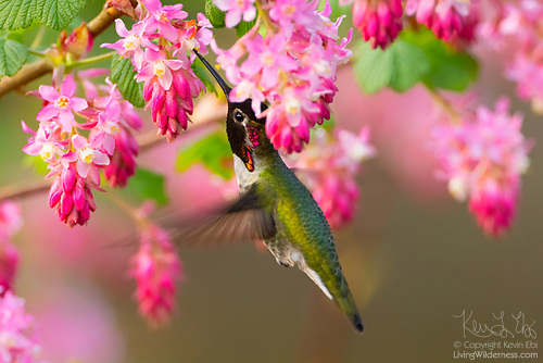 Hummingbird with Flowering Currant