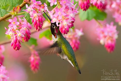 Hummingbird Feeding on Red Flowering Currants, Washington
