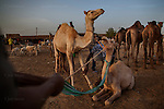 AGADEZ, NIGER — <br /> Camel traders, merchants and livestock sellers gather at the local market in Agadez. <br /> <br /> Agadez, is the largest city in central Niger with an estimated population of over 120,000 people. This city, comprised mainly of one-story mud structures, is situated on the southern outskirts of the Sahara desert and has been an important trade center for centuries. Tuareg and Berber tribes have traveled the many commercial routes that run through the desert for more than a thousand years. Today, this city has become one of the largest human smuggling and drug trafficking routes in West Africa. Thousands of migrants attempting to reach Europe are smuggled through the Sahara desert to Libya, Algeria and Morocco in their attempts to reach Italy and Spain.