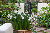 Paperwhite narcissus, daffodils flowering in pot on patio, McAvoy Garden - California summer-dry garden;
