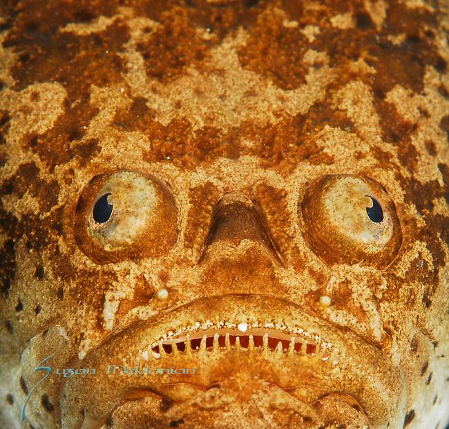 Stargazer-whitemargin , Uranoscopus sulphureus, Ambush Predator, Lembeh Straits, Sulawesi Sea, Indonesia, Amazing Underwater Photography