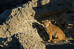 Mountain Lion (Puma concolor) six month old female cub in shelter of calcium deposits, Sarmiento Lake, Torres del Paine National Park, Patagonia, Chile