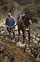 Europe/France/Languedoc-Roussillon/66/Pyrénées-Orientales/Banyuls-sur-Mer: Travail de la vigne avec un cheval de trait dans le vignoble [Non destiné à un usage publicitaire - Not intended for an advertising use]<br /> PHOTO D'ARCHIVES // ARCHIVAL IMAGES<br /> FRANCE 1990