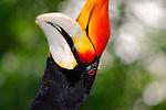Rhinocerus Hornbill