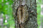 June 2019 - A tree wound on a birch tree along the Mt Tecumseh Trail in New Hampshire. This wound is the result of man not using proper protocol to remove a painted trail marker (blaze) from the tree. A yellow trail blaze was painted on the tree in 2011, and then it was improperly removed from the tree in the spring of 2012. The bark, where the blaze was, was cut and peeled away creating a tree wound where rot, fungus, and insects could enter the tree. This is how the wound looked in June 2019. See how it looked before it was removed: http://bit.ly/1Q4W1Pj