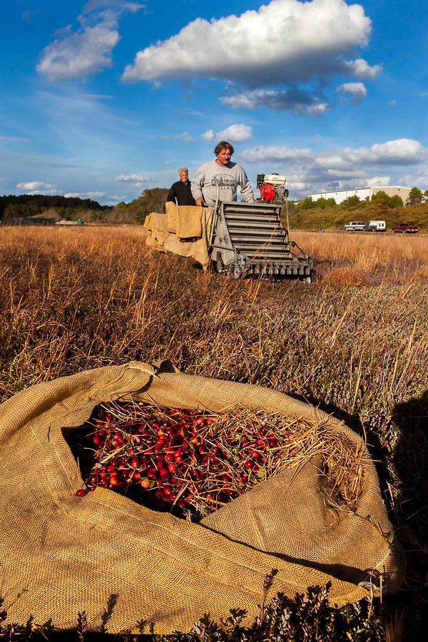"Ray Thacher and Richie Gault use ""dry pickers"" to dry pick cranberries. The berries are put into burlap sacks and then dumped into containers. Dry berries are sold bagged at the grocery store for use in fresh recipes."