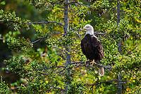 Bald Eagle (Haliaeetus leucocephalus) in spruce tree, Nova Scotia, Canada.