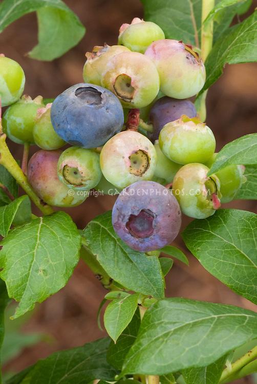Blueberries 'Jewel' on bush growing showing ripe and unripened berries Vaccinium corymbosum on bush growing showing ripe and unripened berries Vaccinium corymbosum Jewel