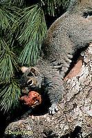 MA23-021z  Gray Squirrel - taking weathered apple to eat - Sciurus carolinensis