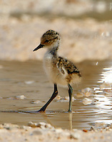 Black-necked stilt chick. This little guy was on the road being attended by a very anxious parent. The chick wanted to stay on the road in spite of mom's directions.