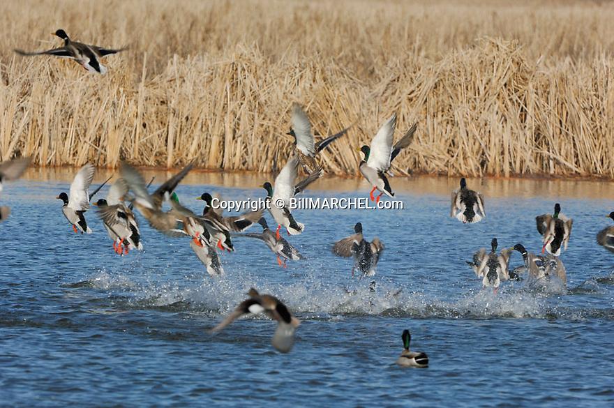 00330-068.01 Mallard Duck (DIGITAL) flock is taking flight from ideal cattail habitat. Waterfowl, hunt, pothole.  H1A1