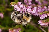 Helle Erdhummel, Weißschwanz-Erdhummel, Weißschwanz Erdhummel, Männchen, Bombus lucorum, Blütenbestäubung, Nektarsuche, Blütenbesuch an Heidekraut, Besenheide, Calluna vulgaris, white-tailed bumble bee, male