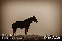 A silhouette photo of a wild horse stallion standing on the top of a ridge at sunset. Wild Horse Photography by western photographer Jess Lee. Pictures of mustangs in the West. Fine art images,Prints,photos Wild horse photo,wildhorses in the american west,