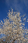 Israel, Shephelah region. Almond tree in Park Britannia.