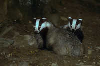 Europäischer Dachs, zwei Tiere in der Nacht am Ausgang ihrer Erdhöhle, Erdbau, Meles meles, Old World badger