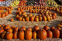 Fresh Pumpkin and Squash Harvest Display at Farmer's Market for Hallowe'en, Keremeos, BC, Similkameen Valley, British Columbia, Canada