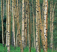 Quaking Aspen tree trunks in rain Snowmass Wilderness White River National Forest Colorado
