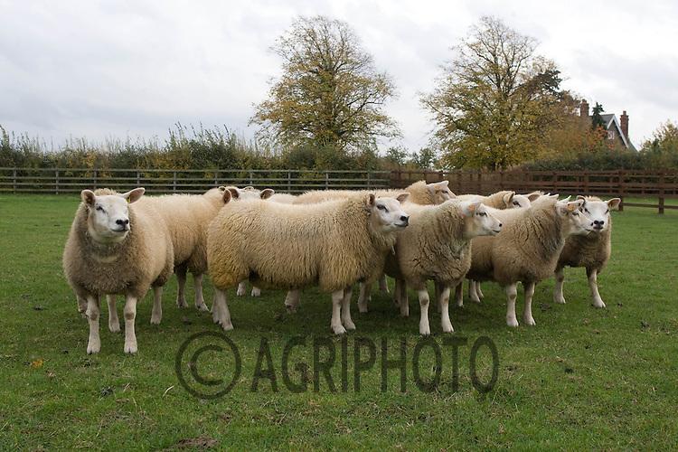 .Texel ewe lambs