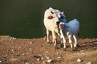 Allevamento. Breeding.Bovini.Cattle....