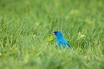 Male indigo bunting in northern Wisconsin.