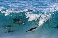 Gentoo Penguin (Pygoscelis papua), adults, swimming underwater through waves, New Island, Falkland Islands, South Atlantic Ocean, South America