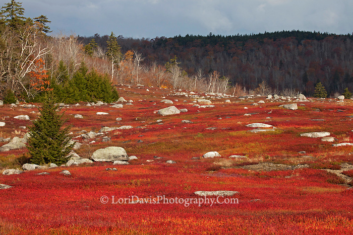 Autumn Blueberry Barrens  #L59