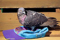 1Z06-016z  Pigeon - Rock Dove, close-up of eye - Columba livia