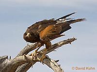 0405-1221  Harris's Hawk Perched Looking for Prey, Harris Hawk (Bay-winged Hawk or Dusky Hawk), Parabuteo unicinctus  © David Kuhn/Dwight Kuhn Photography