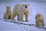 A mother polar bear and her two cubs travel across the snow.