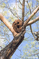 0101-1203  Arboreal Termite Nest (Central American Jungle), Drywood Termite  © David Kuhn/Dwight Kuhn Photography