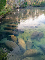 Florida manatee, Trichechus manatus latirostris, a subspecies of West Indian manatee, Trichechus manatus, in the warm waters of Homosassa Springs, Florida, USA