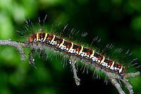 Weißdornspinner, Raupe, Weißdorn-Spinner, Trichiura crataegi, richiura griseotincta, Pale Eggar, Pale Oak Eggar, caterpillar, Le Bombyx de l'aubépine, Glucken, Lasiocampidae