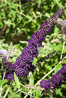 Butterfly Bush Buddleja davidii 'Black Knight' aka Buddleia davidii Black Knight in dark purple flower
